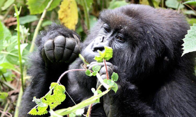 Mountain Gorilla Trekking Experience in Rwanda 2021