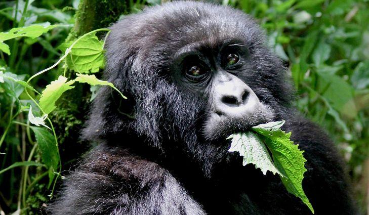 What do Mountain Gorillas Eat?