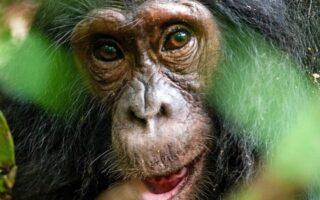 7 Days Kibale Chimpanzees & Rwenzori Hiking safari