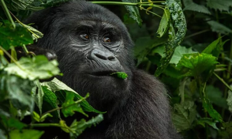 Can I get flu from a mountain gorilla?