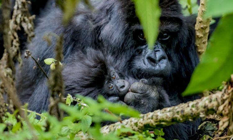 Kwita Izina Mountain Gorilla Naming Ceremony