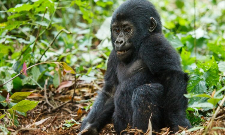 What makes mountain gorilla trekking fun?