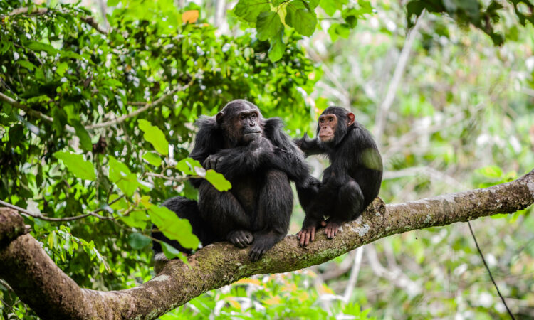 Are chimpanzees at Risk?