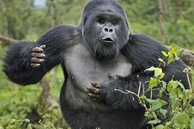 How do mountain gorillas defend themselves from Danger?
