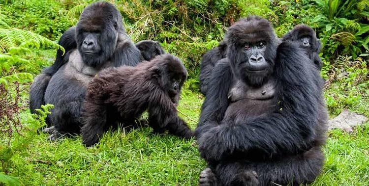 Mountain Gorilla Trekking During This 42 Day Lockdown Gorilla Trekking