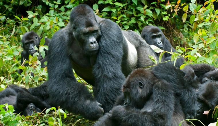 Gorilla trekking experience in Rwanda