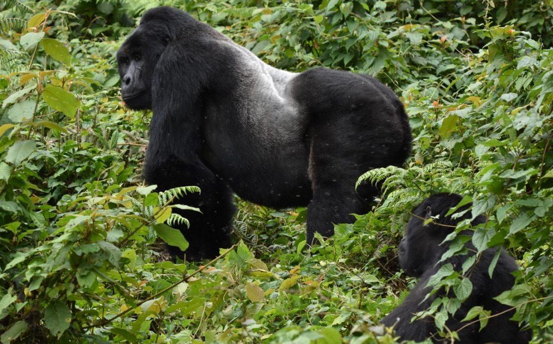 Ruhija's Bitukura Mountain Gorilla group gets new baby