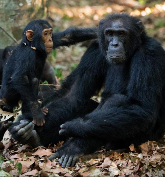 Is it true that chimpanzees can get COVID-19 from humans?
