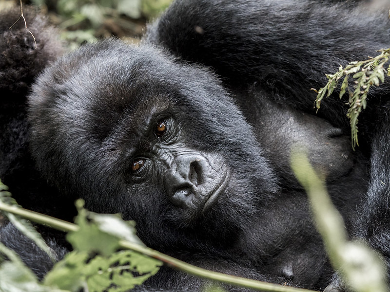 Can I trek mountain gorillas if I have suffered from COVID-19?