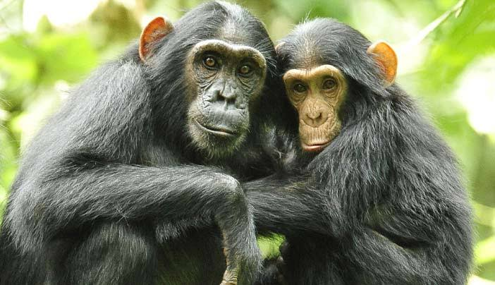 Rules and Regulations for Chimpanzee Tracking
