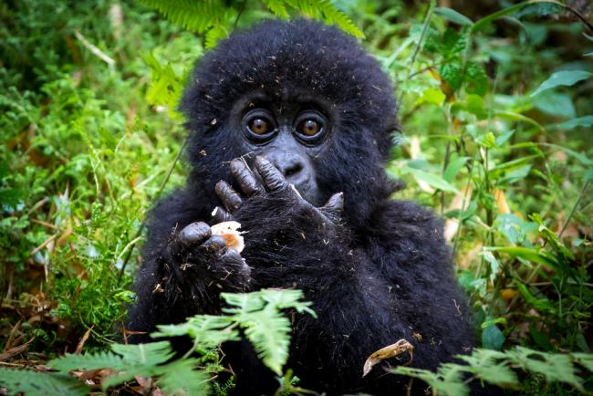 Interesting Facts About Mountain Gorillas