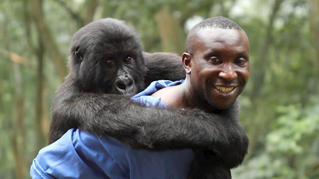 Ndakasi the fallen mountain gorilla