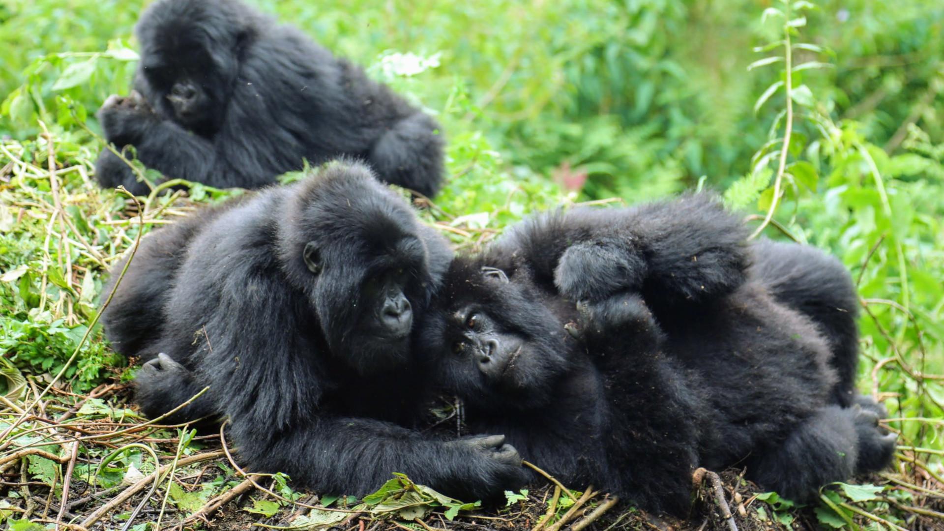 How Do Gorilla Show Respect?